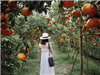 Du lịch Đồng Tháp dịp giáp Tết ghé thăm vườn quýt hồng Lai Vung