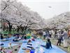 Đến Hàn Quốc, Nhật Bản ngay thôi, mùa anh đào nở đến rồi!